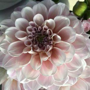 Dahlienblüte im Detail